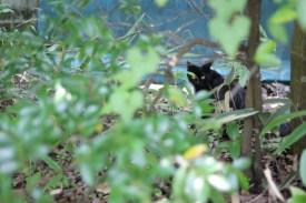 Kurokawa Onsen Cats 21 juillet 2017 (8)