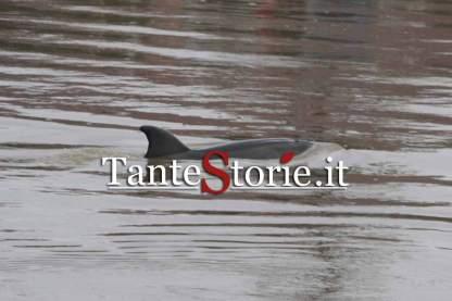 Il delfino che in questi giorni nuota nell'Arno a Pisa