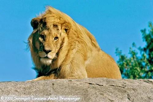 Lion safari en tanzanie pas cher