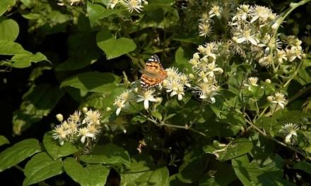 Bachblüten stellen sich vor – Heute: Clematis