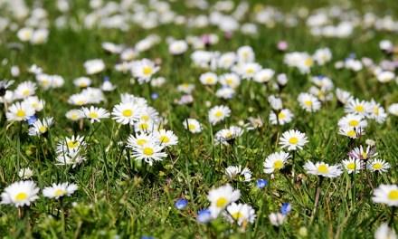 Pflanzenmagie: Das Gänseblümchen