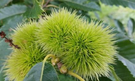 Bachblüten stellen sich vor – Heute: Sweet Chestnut
