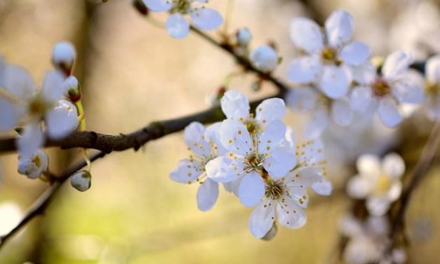 Bachblüten stellen sich vor – heute: Cherry Plum