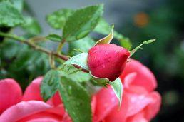 Knospe einer Rose