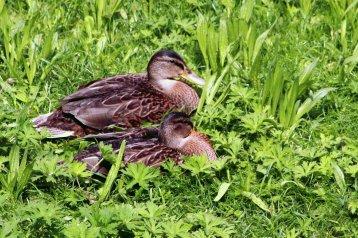 Hinterm Graben im Grünen lassen es sich auch die Enten gut gehen.