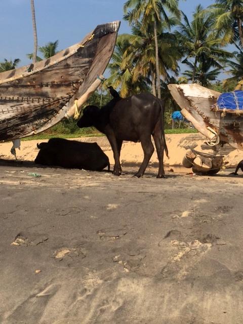 Ko med Kråka, här och nu