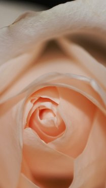Closeup Pink HD Flower Wallpapers for iPhone 7