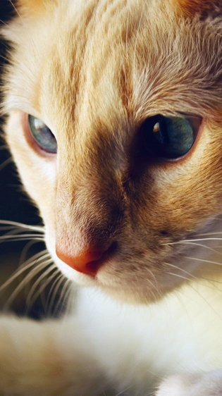 Cat Closeup Wallpaper in HD for iPhone 7