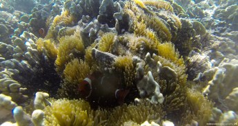 Snorkeling in Sicsican Island