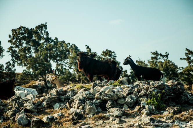 Goats in Nagudungan Hill, Calayan Island