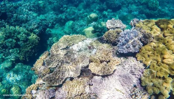 Coral garden in Apo Island, Negros Oriental