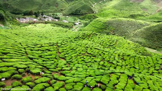 Tea plantation in Cameron Valley, Cameron Highlands, Malaysia