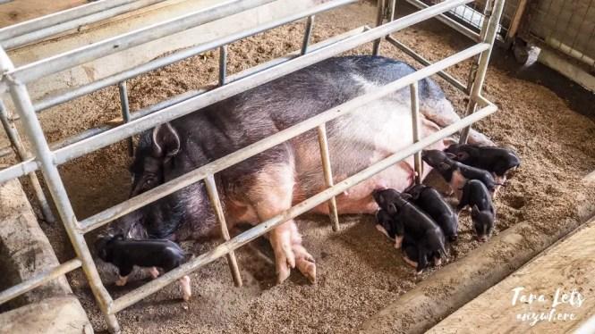 Wild pigs in JSMS Farm, Camarines Norte
