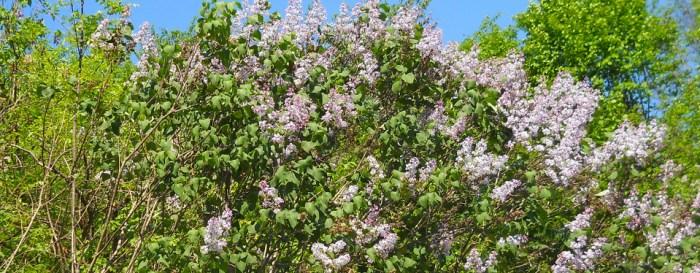 Pădurea-de-liliac-Ponoarele