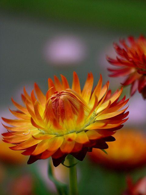 floare de pai 1