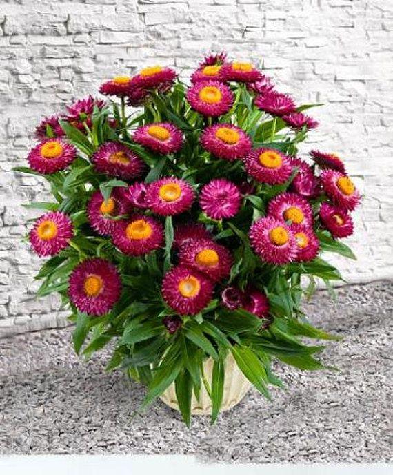 floare de pai