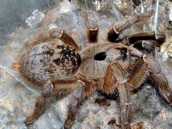 ceratogyrus_brachycephalus_phil.messenger