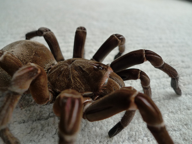 Goliath Bird Eating Spider Scientific Name