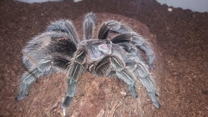 tarantula Spidey