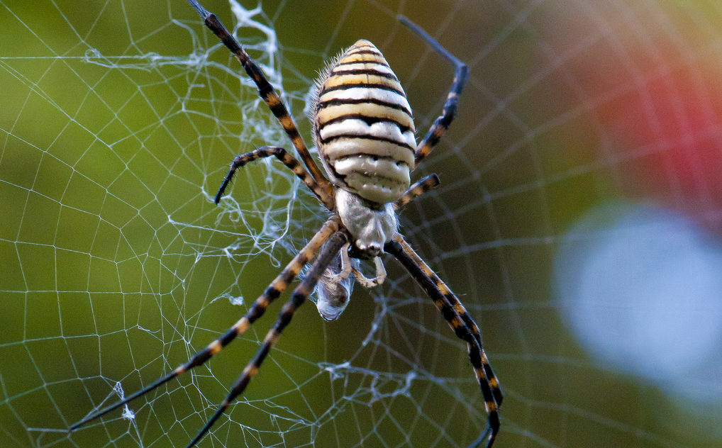 Garden Spider Facts: All You Need To Know About The Spider In Your ...