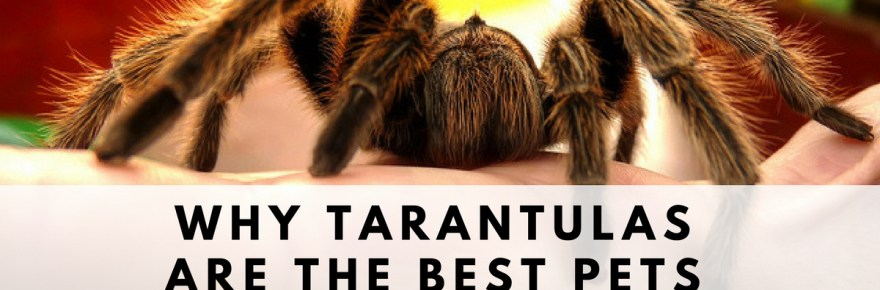 tarantula best pet