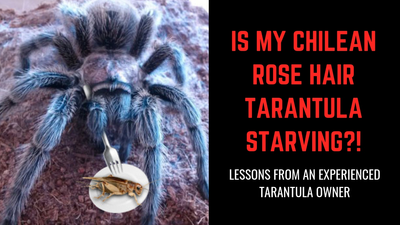 Is My Rose Hair Tarantula Starving Insight From An Experienced