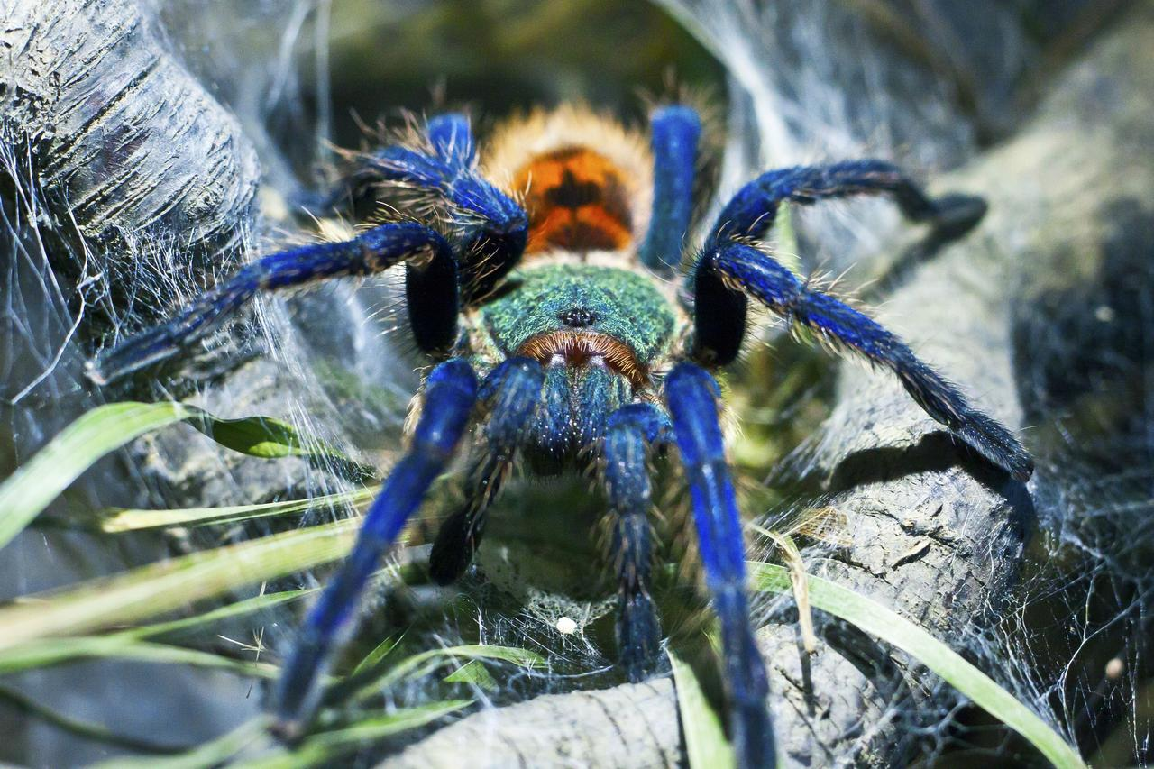 Chromatopelma Cyaneopubescens | Green Bottle Blue