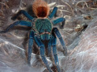 Green bottle Blue Tarantula