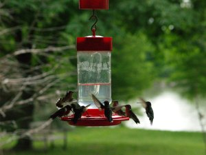 Ruby-throated Hummingbirds at the feeders around the Lodge