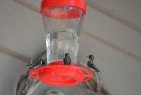Hummingbirds at the feeders at Tara Lodge