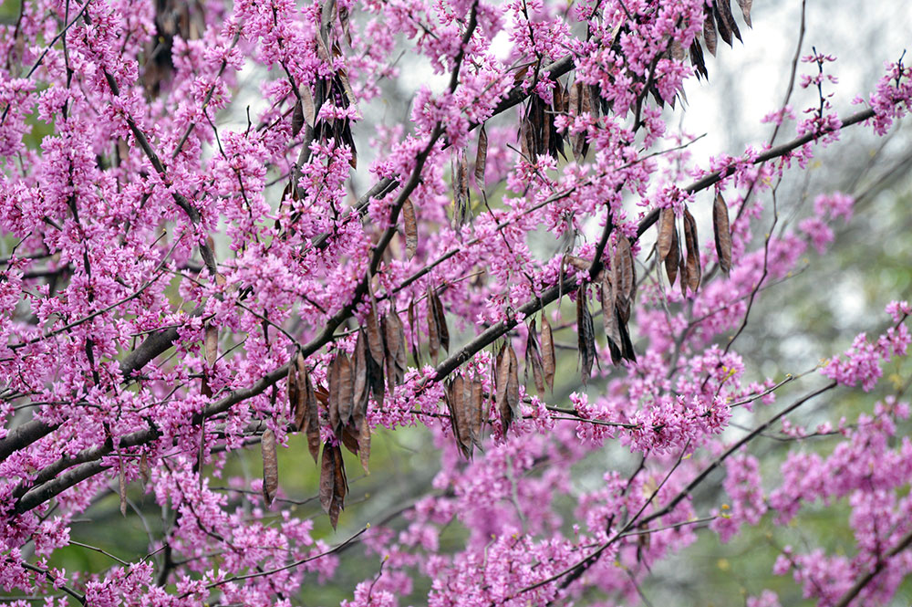 Eastern Redbud Tree First Signs Of Spring To Come Tara Wildlife