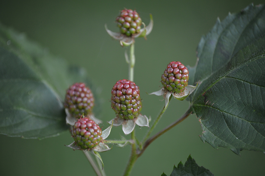 Blackberry and Dewberry (Rubus spp) - Native Plants of the ...