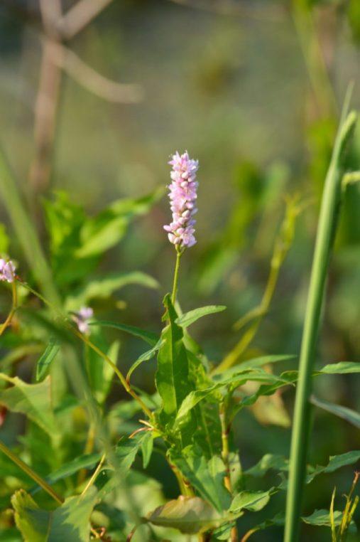 Smartweed (Polygonum spp)