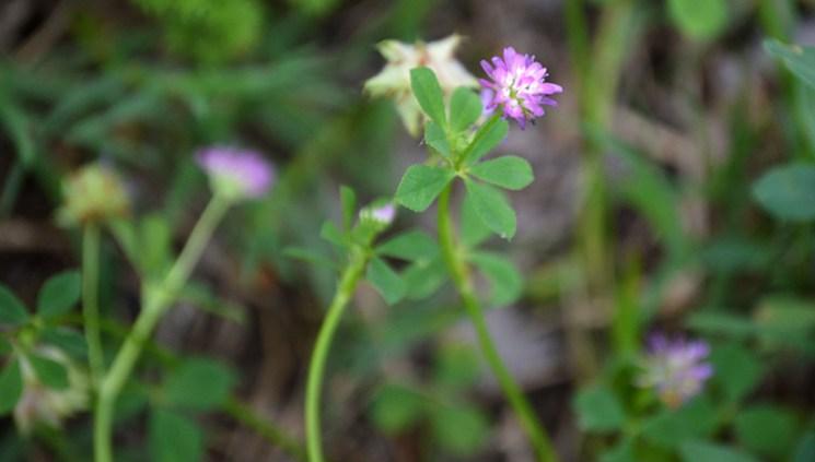 Small Clover Flower