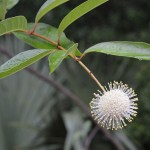 Buttonbush flower