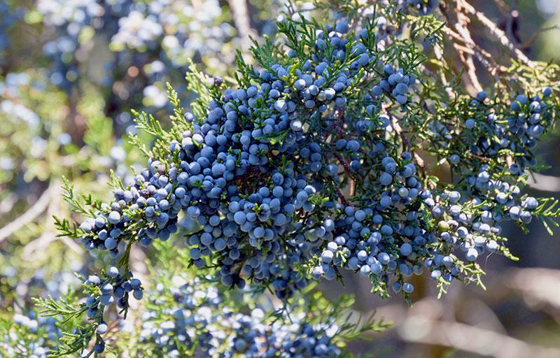 Fruit of the Eastern Red Cedar