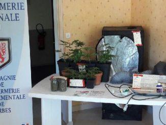 Tarbes. Les gendarmes saisissent 11 pieds de cannabis et 240 grammes de drogue