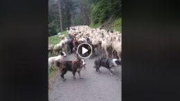 Transhumance en vallée d'Aure, Buzz sur Facebook