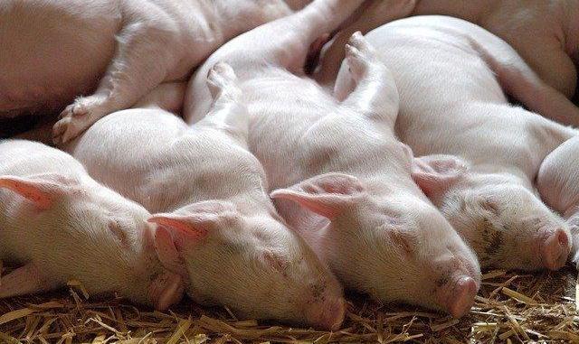 Satisfaction de No Porcharan après l'abandon de porcherie industrielle à Ossun