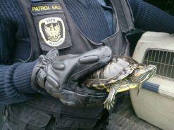 Żółw znaleziony na ul. Zamiejskiej /fot. straż miejska