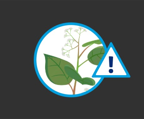 Japanese Knotweed: Top Weed for Home Damage in North Carolina