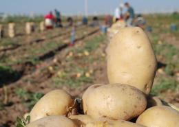 Patates Tohumluk üretim