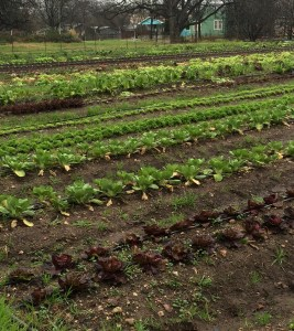 Lettuces in the one of the fields at Boggy Creek.