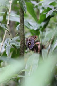 Another Mom discovery - the Owl Butterfly.