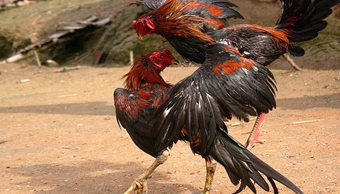 Perhitungan Bayaran Game Adu Ayam S128