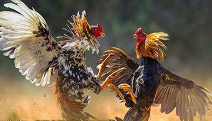 Tutorial Belajar Bermain Betting Sabung Ayam S128 Live