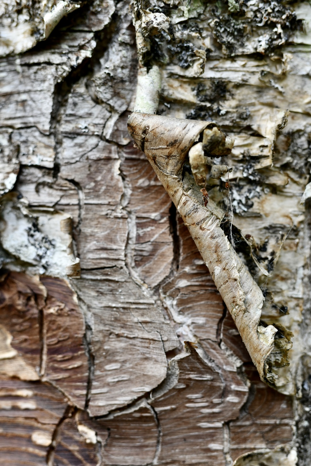Birch tree texture. Part of texture is cracking the other area is curling up. 2021. Taryn Okesson. Digital Photography. White Mountain National Forest, New Hampshire.
