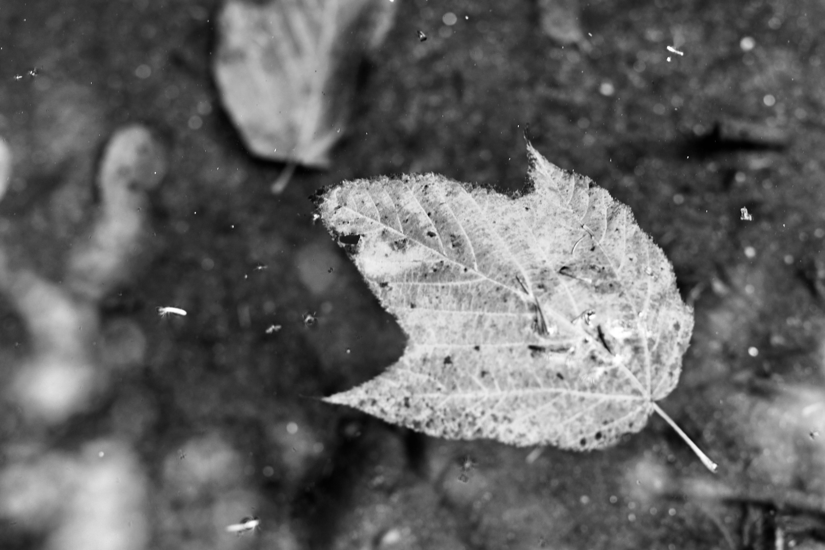 Black and white macro image of a leaf floating in water. 2021. Taryn Okesson. Digital Photography. White Mountain National Forest, New Hampshire.