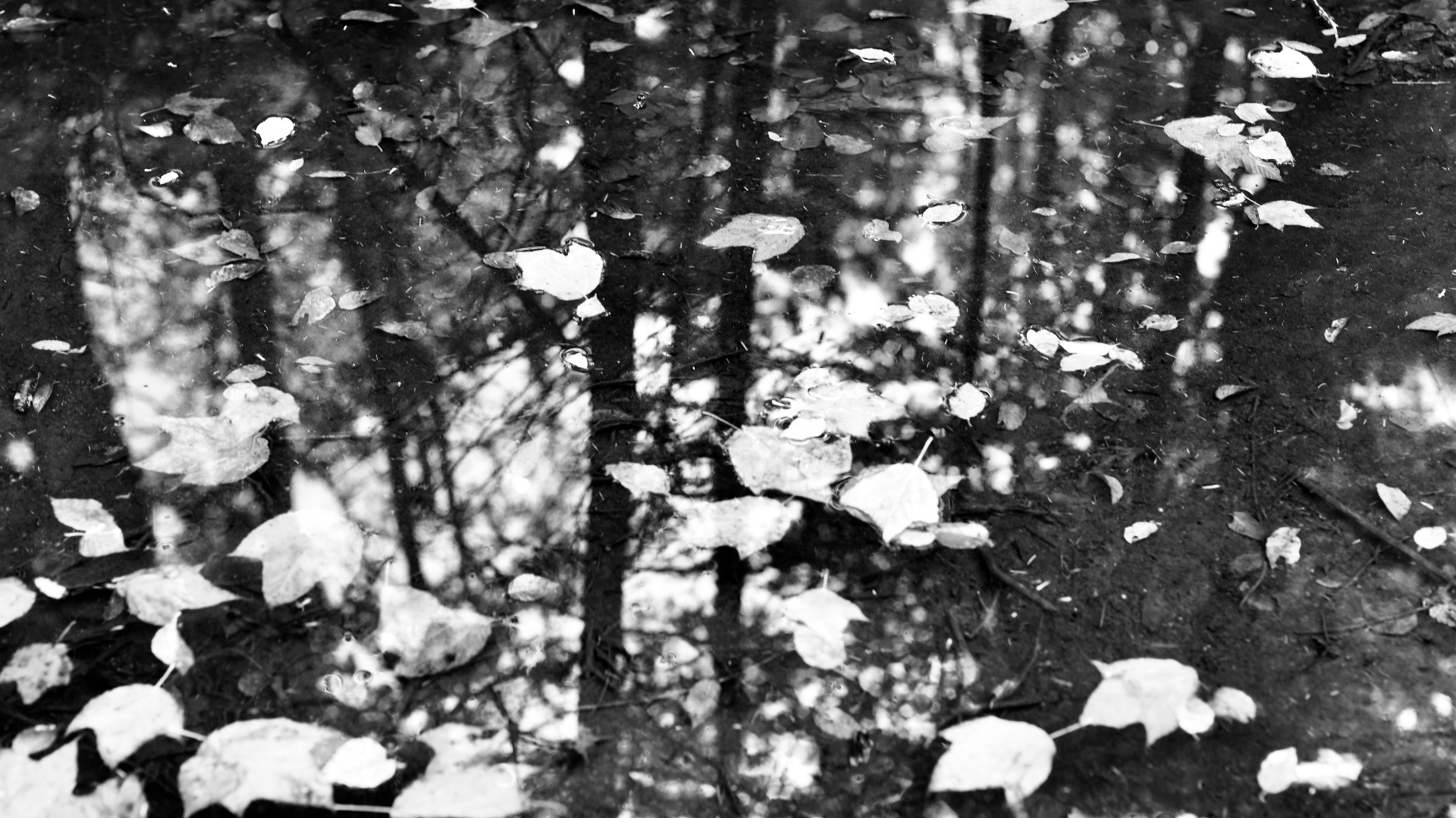 Black and white image of many leaves floating in water with tree reflections. 2021. Taryn Okesson. Digital Photography. White Mountain National Forest, New Hampshire.