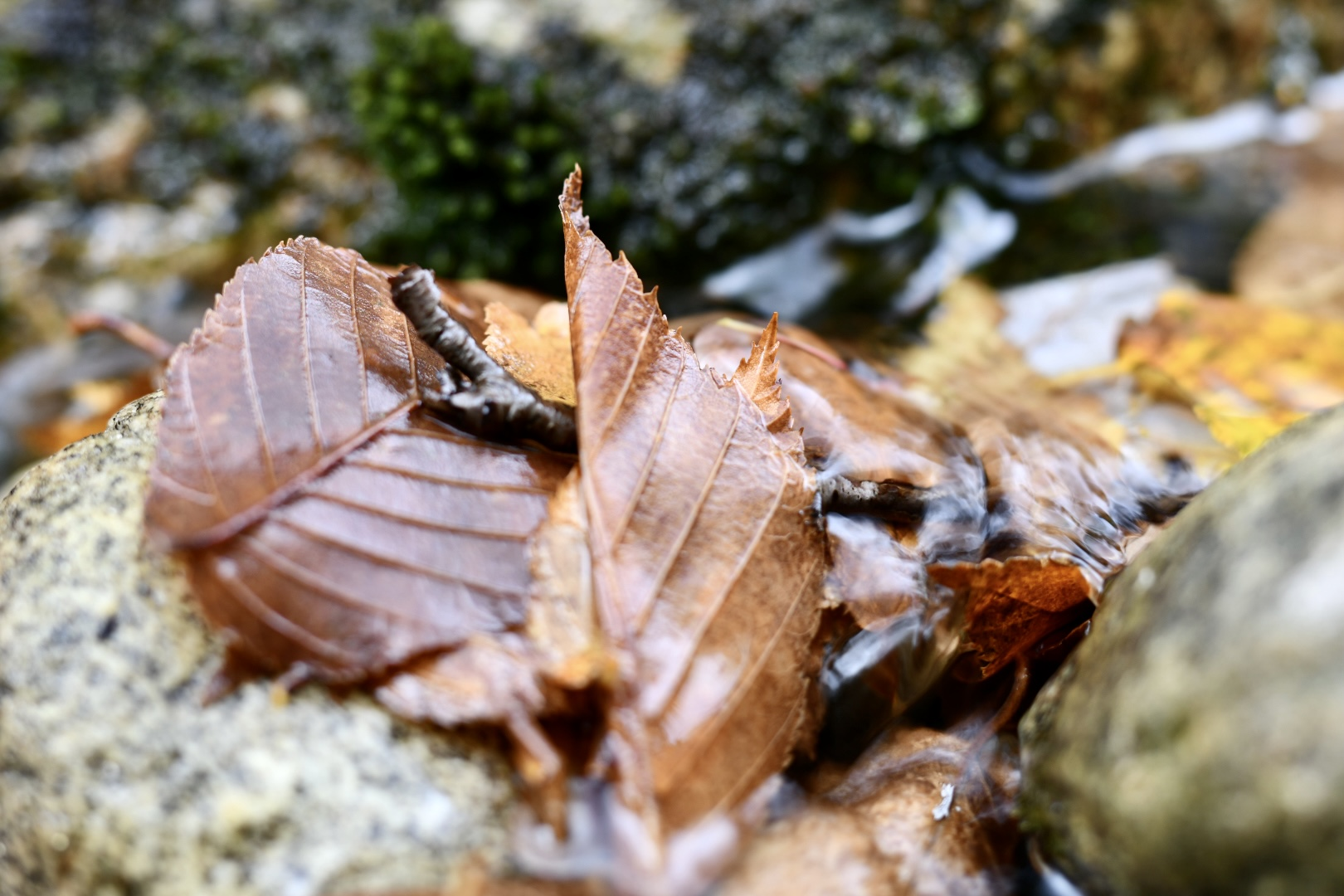 Pile of autumn leaves caught on mossy river rocks. 2021. Taryn Okesson. Digital Photography. White Mountain National Forest, New Hampshire.